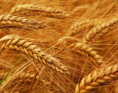 سوريا ستواجه نقصا في القمح بـ800 ألف طن في 2015