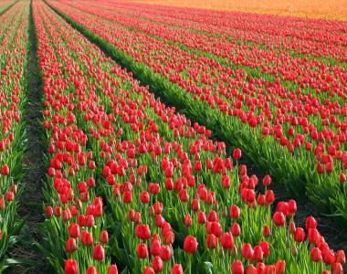 إمبراطورية التوليب!…كيف تحول التوليب إلى ثروة وطنية في هولندا